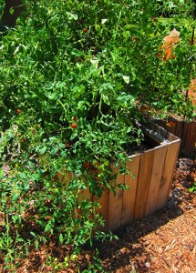 Red cherry tomato plant, loaded with fruit.