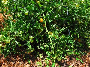 Yellow cherry tomato plant, ready for picking.